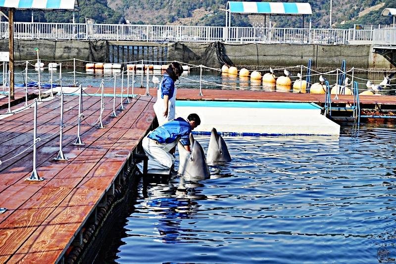 『日本。大分』 津久見海豚島(つくみイルカ島) | 史上最療癒!!生活在大自然小港灣海洋裡的可愛海豚,遊客可以跟海豚親親摸摸握手甚至共游的零距離接觸體驗海洋樂園。|2019年0211-0214九州大分近郊自駕山海遊 農泊體驗四天三夜之旅