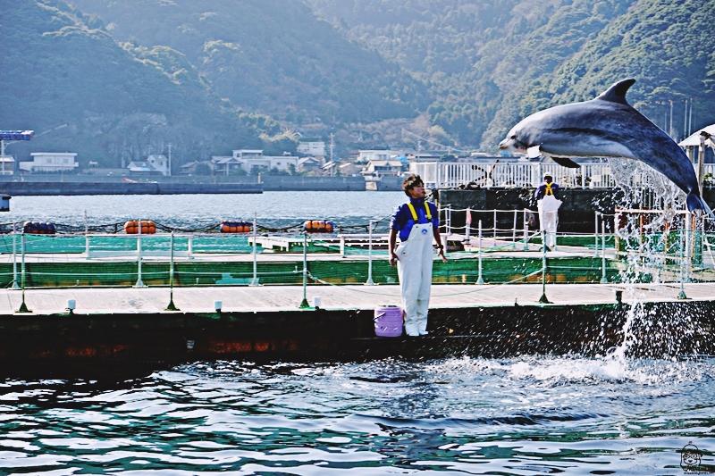 『日本。大分』 津久見海豚島(つくみイルカ島) | 史上最療癒!!生活在大自然小港灣海洋裡的可愛海豚,遊客可以跟海豚親親摸摸握手甚至共游的零距離接觸體驗海洋樂園。|2019年0211-0214九州大分近郊自駕山海遊 農泊體驗四天三夜之旅 @Mika出走美食日誌