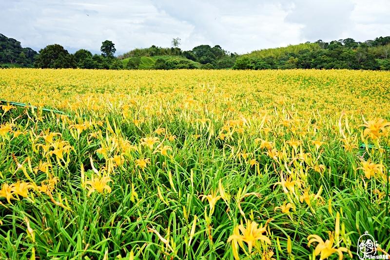 『花蓮。玉里』 赤科山金針花海|2019花蓮金針花季  是季節限定的黃澄澄花海  赤科山更是台灣最大面積的金針花海。