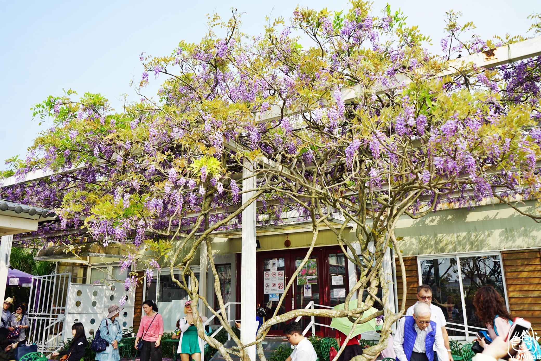 『新北。淡水』 紫藤咖啡園(一店)(屯山園區)|全台最大紫藤園  近500株紫藤 一年僅開放兩週左右  每年約3月20日至4月20日開放!。