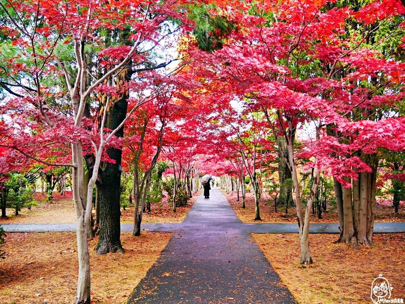 『日本 。北海道』 札幌 平岡樹藝中心|就像小型植物園,秋楓季節最迷人,有著長達150公尺的紅葉隧道,漫步其間彷彿置身在圖畫中,醉人心脾|2018 1021-1102東京、東北&北海道萬聖節賞楓之旅